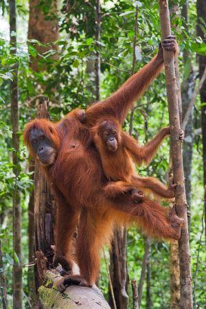 red ape ballet